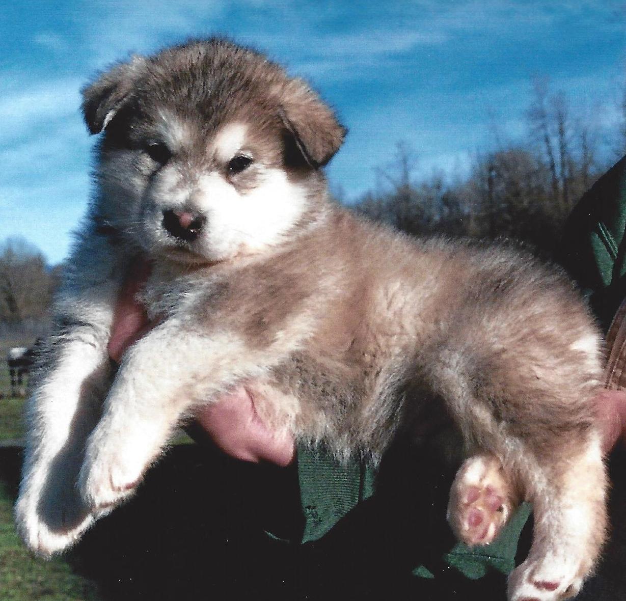 Wakon Giant Alaskan Malamutes Authentic Wakon Malamutes