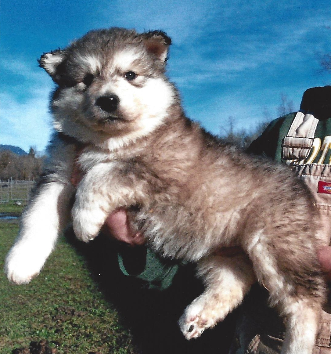 Wolf hybrid puppies for sale in ohio - Picture