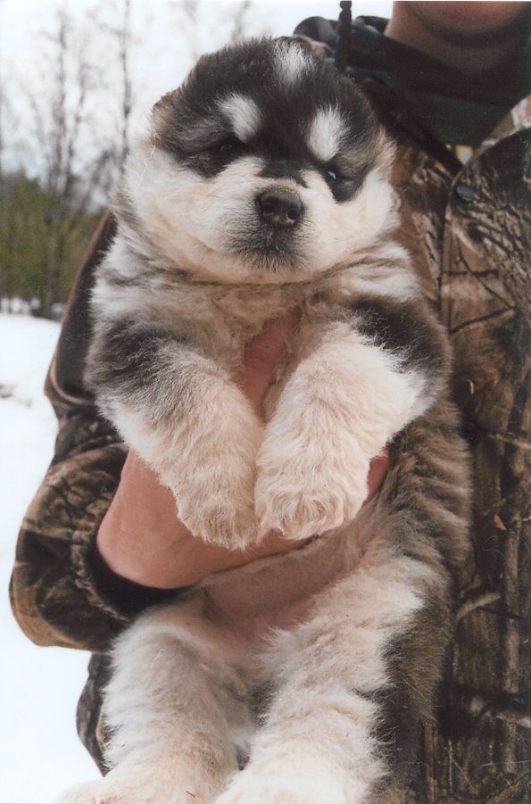 Giant Alaskan Malamute for Sale